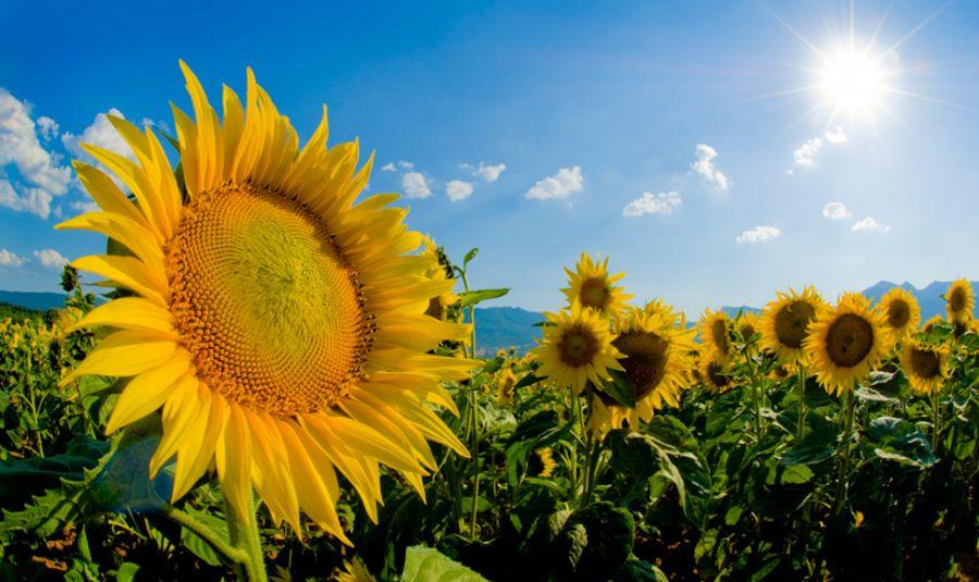 sunflower-field-e